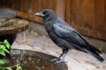 A crow perches on a water feature.